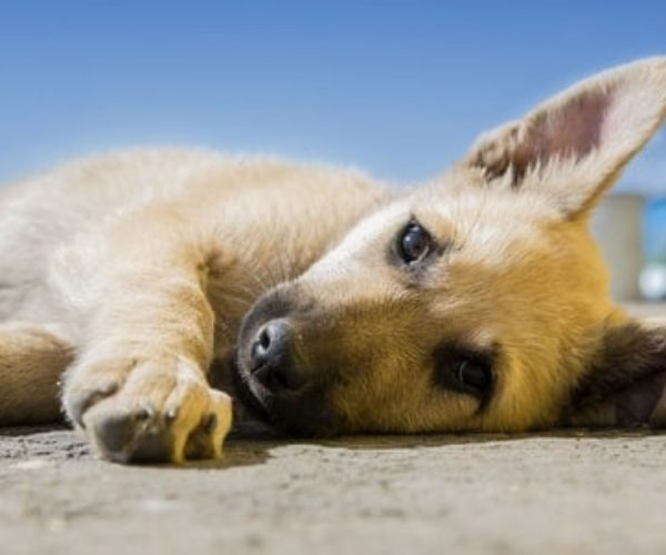 How To Know If Your Dog Is In Pain – 20 Telltale Signs