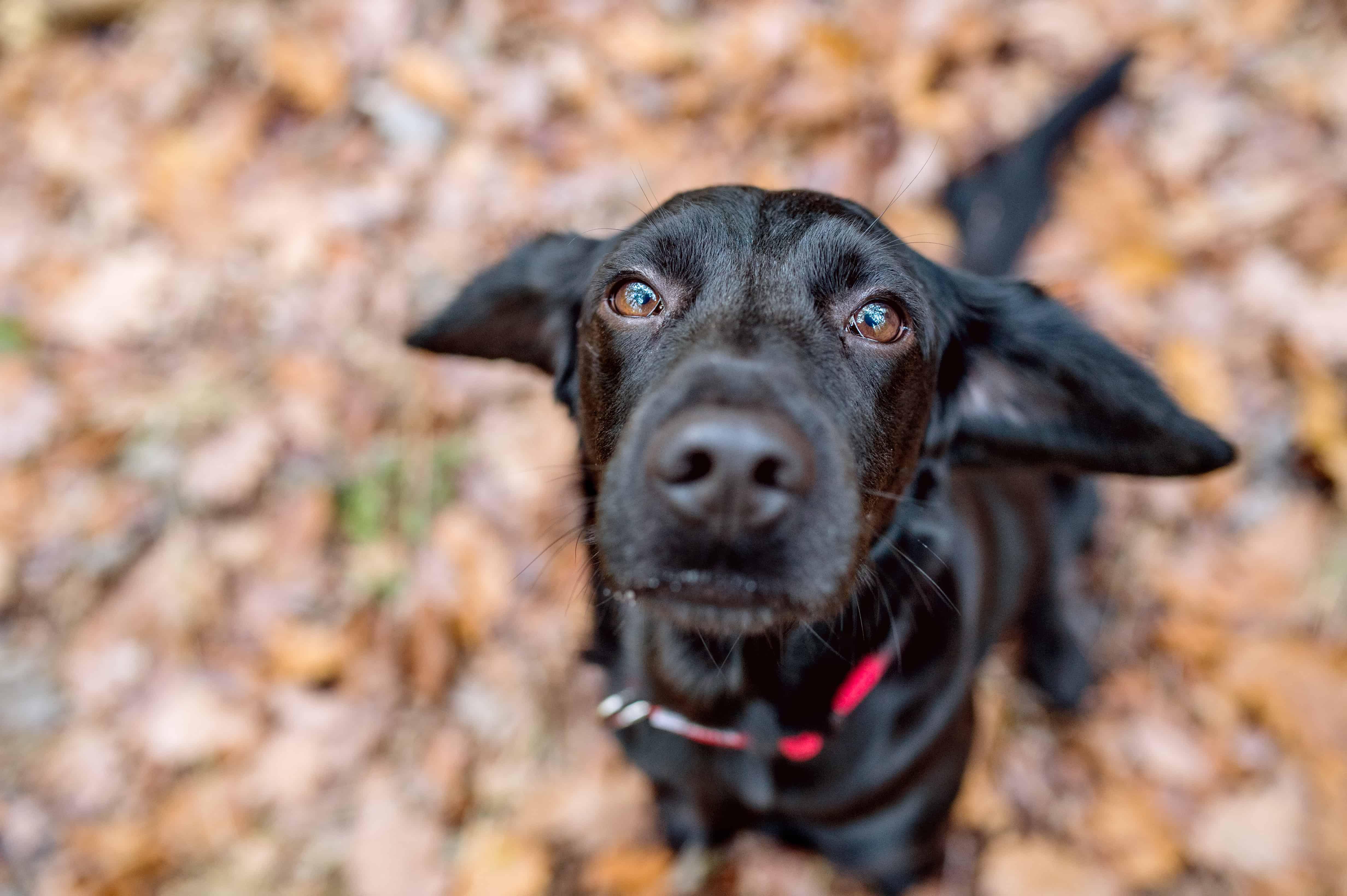 Probiotic - close up black dog