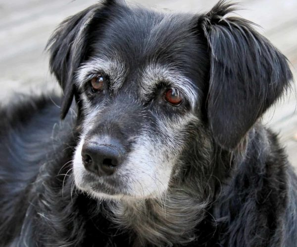 Do Dogs Get Dementia? – 16 important signs To Know
