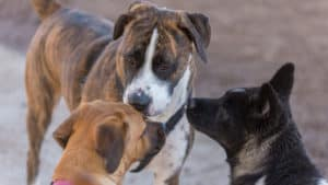 three dogs socializing and sniffing