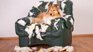 Destructive dogs - Rough collie destroys chair, rips the stuffing out of it and lies on top of it.