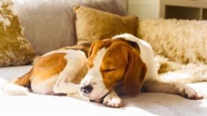 catnip for dogs - calm dog asleep