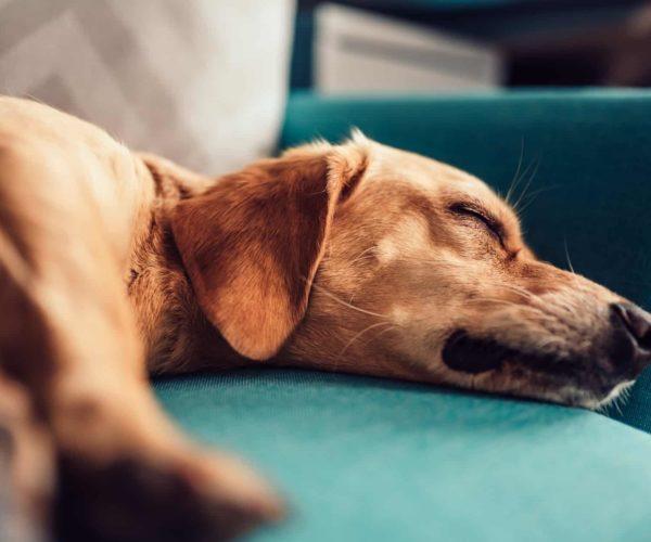 Giving Dogs Benadryl, Is it Safe?