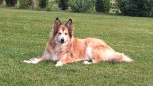 Anise for dogs - Dog calmly lying down on the garden lawn