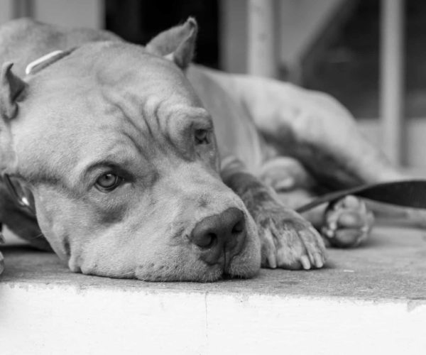 Depression in Dogs: The Owner's Guide