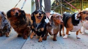 a pack of short legged dachshunds
