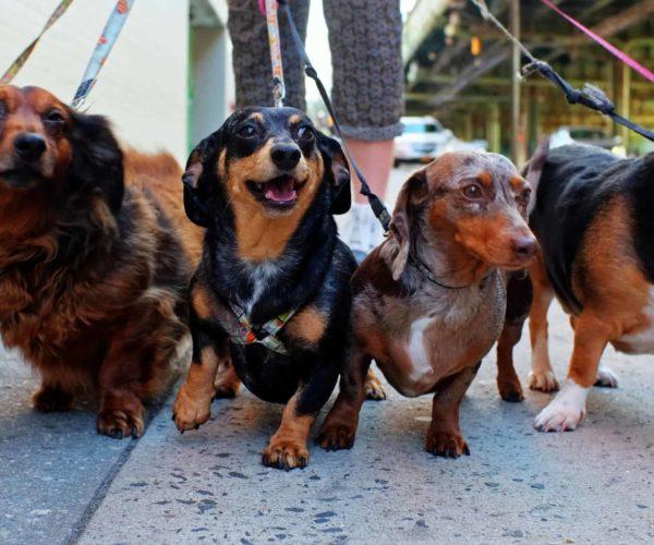 Short Legged Dogs – 8 Popular Breeds