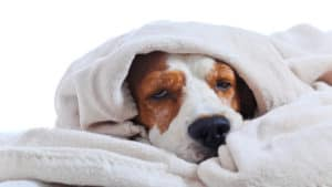 mango worms - image showing a sick dog in a blanket