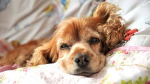 PANCREATITIS IN DOGS - a tired cock spaniel, lying on a quilt