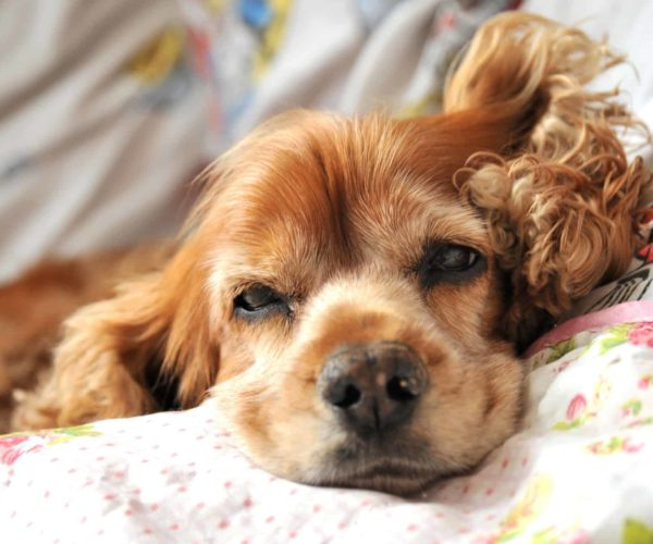 Pancreatitis in Dogs – Causes, Signs & Treatment