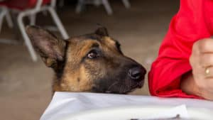 CAN DOGS EAT DRAGON FRUIT? - dog begging at the dinner table