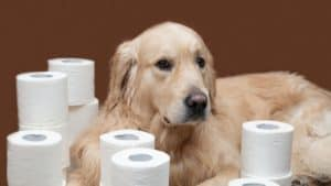 A dog in desperate need of a Bark Potty. Labrador lying next to lots of white toilet rolls.