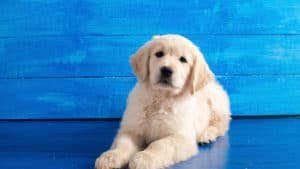 Golden Lab puppy lying down with a bright blue background