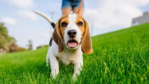 Exercise Your Dog - dog walking in a large grassy field