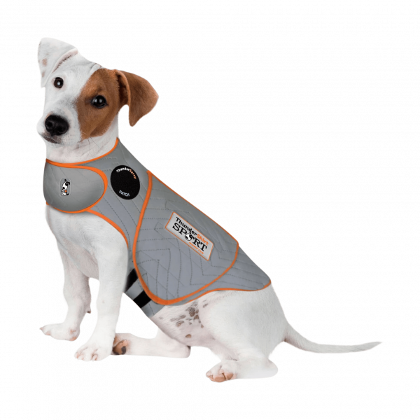 jack russell in a thundershirt