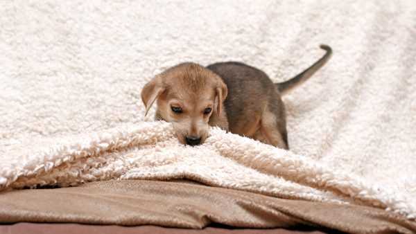 Why does my dog nibble on blankets - puppy chewing a blanket