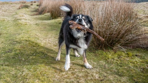 Dog With a stick in a field