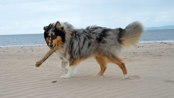 Why do dogs like sticks - Dog carrying a stick