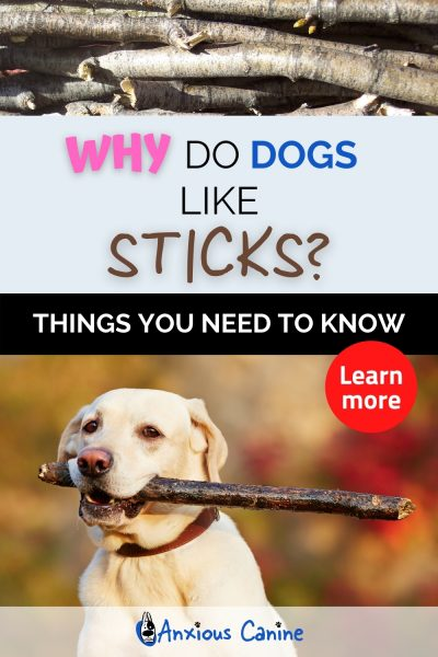 Why do dogs like sticks - Pinterest pin showing a dog with a stick