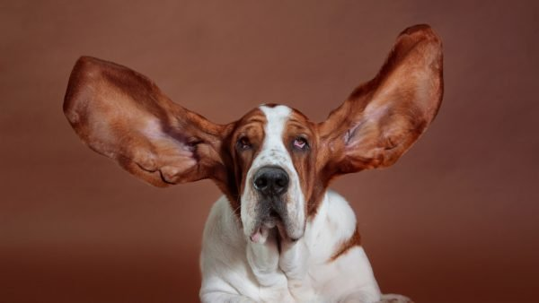 dogs with floppy ears - basset hound