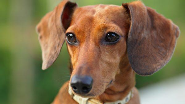 dog with big floppy ears