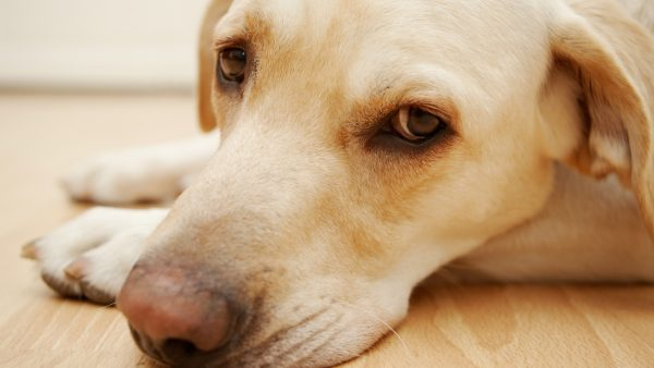 DOG ANXIETY DISORDER - calm dog, close up