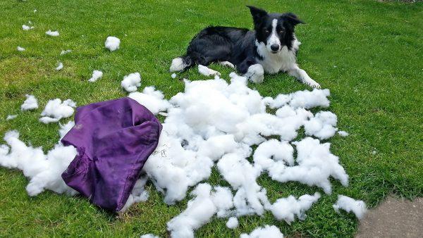 DOG ANXIETY DISORDER - destructive dog wrecking a cushion -