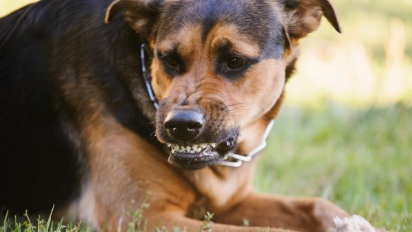 DOG ANXIETY DISORDER - Aggressive dog