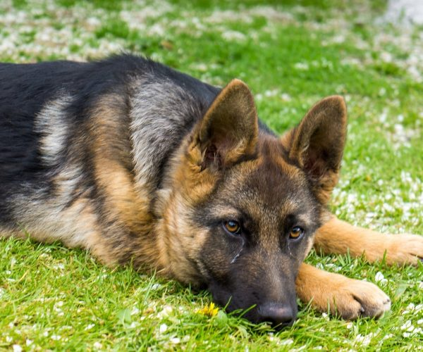 Can Dogs Cry? The Real Reason Dogs shed A tear