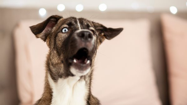 Anxious dog howling