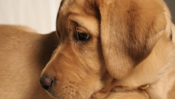 Can Dogs cry - Puppy with tears