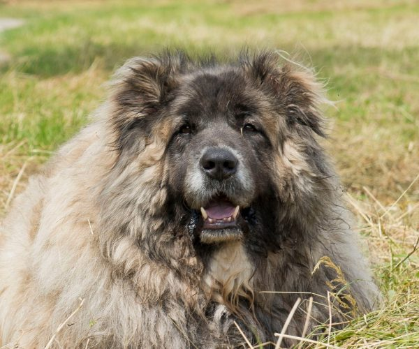 Russian Bear Dog: One of Nature's Special Breeds
