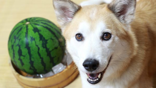 dog with full watermelon